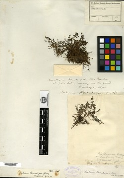 Galium trifidum subsp. subbiflorum image