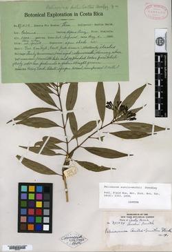 Palicourea salicifolia image