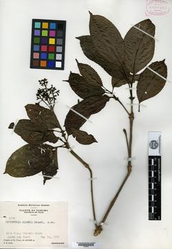 Psychotria allenii image
