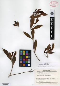 Psychotria bakeri image