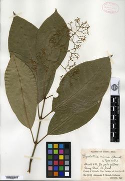 Psychotria angustiflora image