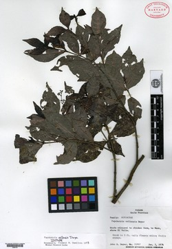 Psychotria graciliflora image