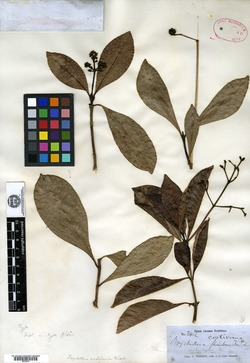 Image of Psychotria costivenia