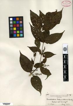 Image of Arachnothryx heteranthera
