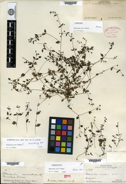 Image of Oldenlandia ovata