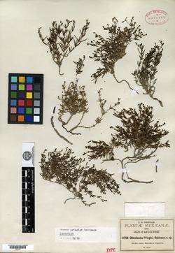 Image of Oldenlandia pringlei