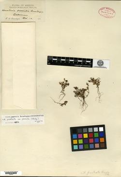 Image of Houstonia prostrata