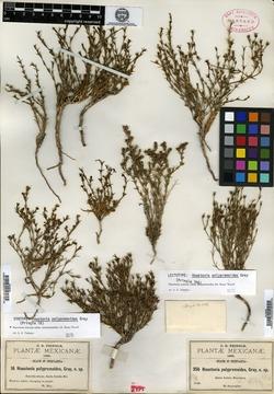 Image of Houstonia polypremoides
