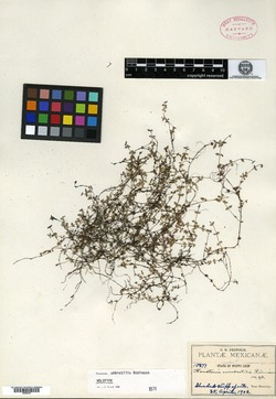 Image of Houstonia umbratilis