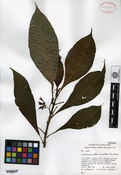 Hoffmannia steinvorthii image
