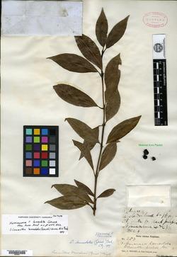 Image of Hoffmannia lanceolata