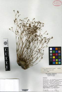 Houstonia butterwickiae image