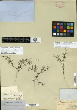 Image of Oldenlandia subviscosa