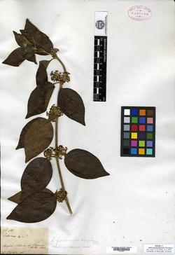 Sabicea panamensis image