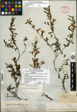 Dipteracanthus image