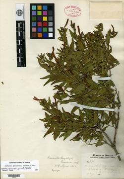 Image of Anisacanthus gonzalezii
