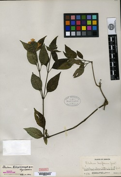 Ruellia blechioides image