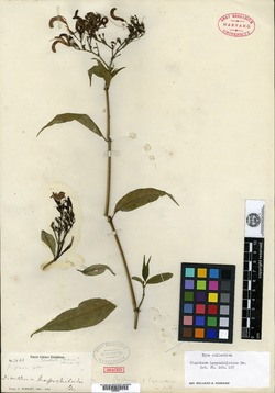 Image of Ancistranthus harpochiloides