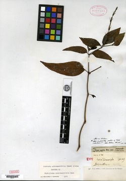 Image of Justicia androsaemifolia
