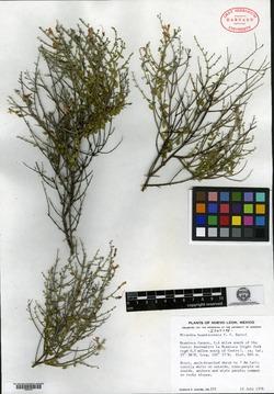 Image of Mirandea huastecensis