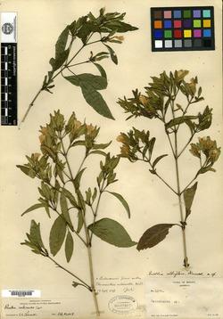 Image of Ruellia albiflora