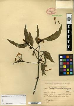 Image of Ruellia alboviolacea