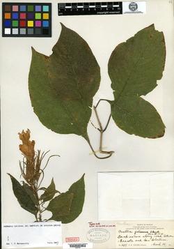 Image of Ruellia jaliscana