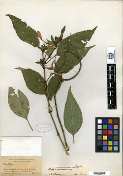 Image of Ruellia oaxacana