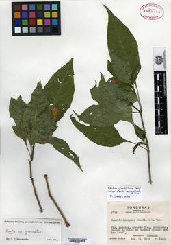 Image of Ruellia latibracteata