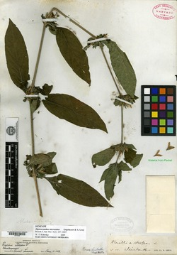 Dipteracanthus micranthus image