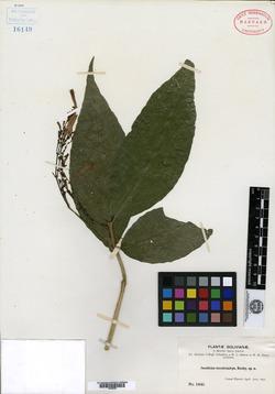 Jacobinia tenuistachys image