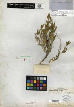 Image of Dipteracanthus suffruticosus