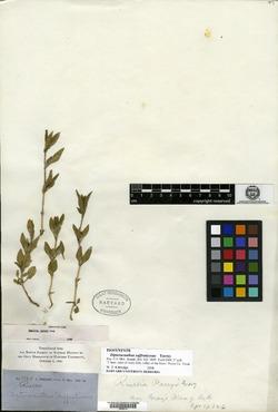 Dipteracanthus suffruticosus image