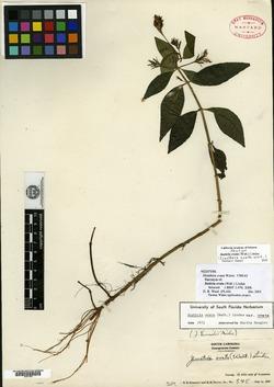 Dianthera ovata image