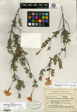 Image of Macrosiphonia woodsoniana