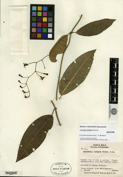 Image of Echites puntarenensis