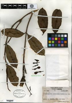 Allomarkgrafia plumeriiflora image