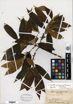 Lacmellea panamensis image