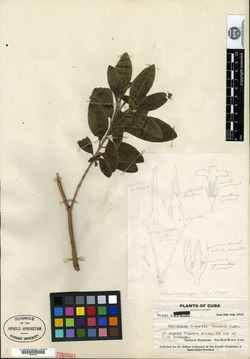 Image of Neobracea howardii