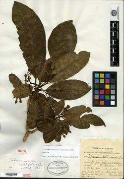 Image of Tabernaemontana ovalifolia