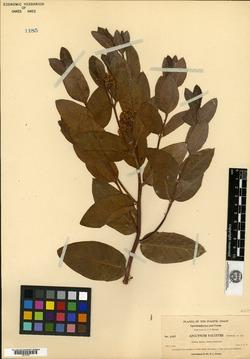 Image of Apocynum palustre