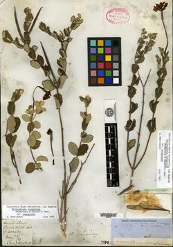 Image of Macrosiphonia berlandieri