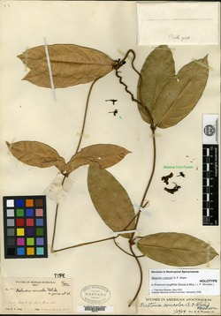 Image of Prestonia longifolia