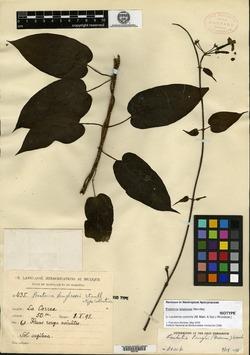 Laubertia contorta image