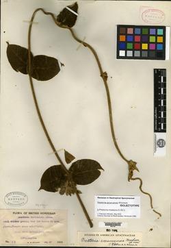 Prestonia amanuensis image
