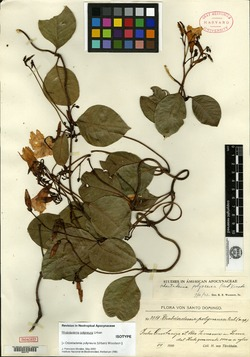 Image of Odontadenia polyneura
