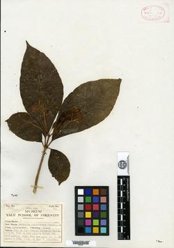 Image of Rauvolfia purpurascens