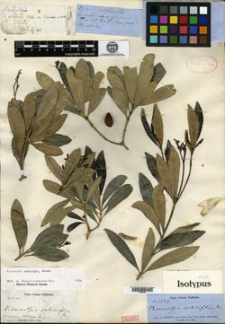 Image of Rauvolfia salicifolia