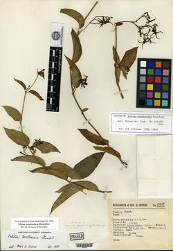 Image of Echites woodsoniana