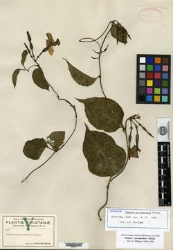 Image of Echites yucatanensis